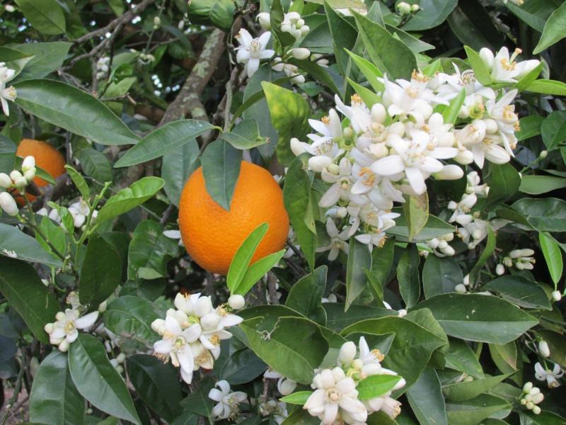 Orangenblüte im April 2013